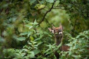 Killarney National Park Deer