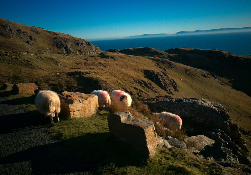 Sheep at Slieve League